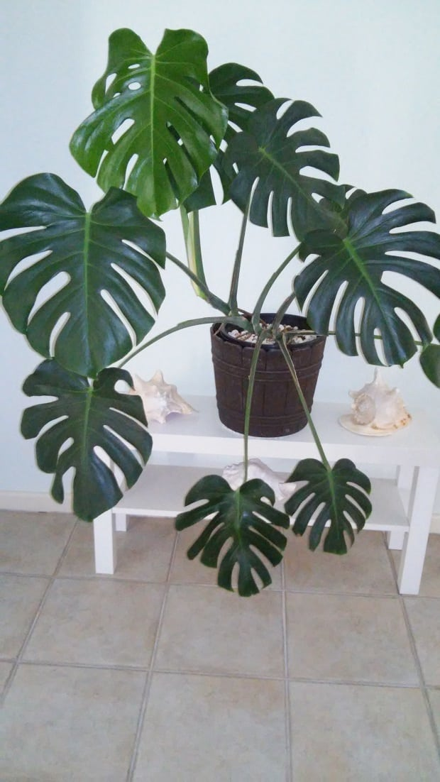 A monstera on the wall indoor plants for Plante monstera