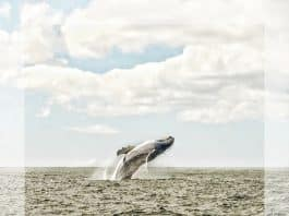 Whale.Indian Link