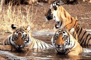Bengal tigers- Uttarakhand