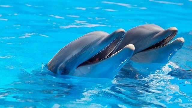 dolphin.Indian Link