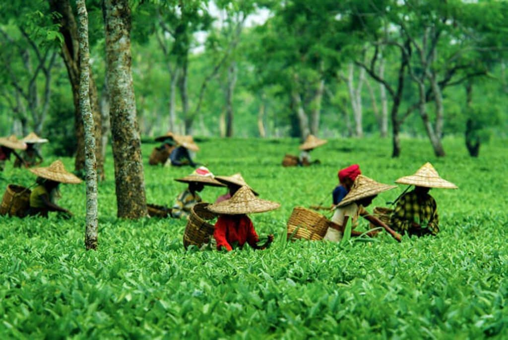 Over 850 big tea gardens and thousands of small gardens in the northeastern region of India specially in Assam are closed leading to huge economic loss