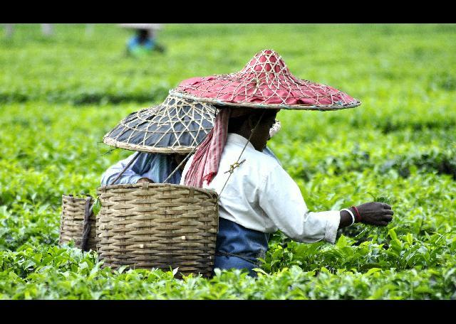 help Assam's tea workers