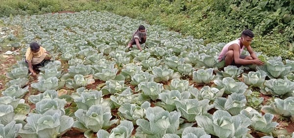 Indian farmers to receive $4.5 million aid from the Walmart foundation. Farmers harvesting cabbage.