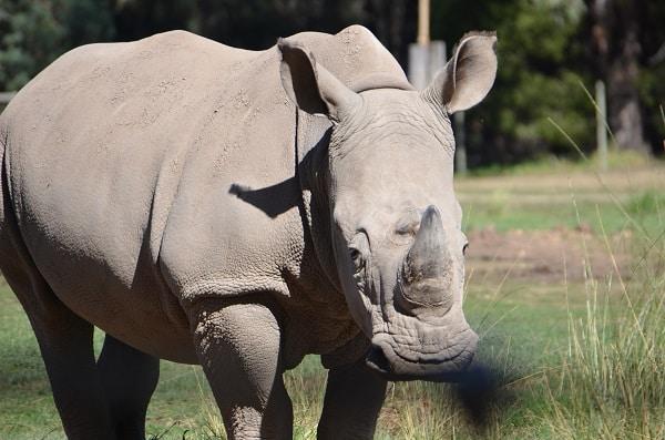rhino at zoofari lodge
