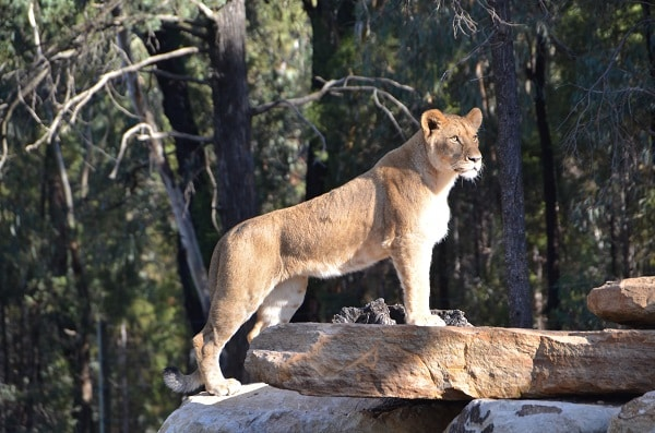 picture of lioness
