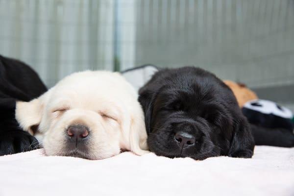 guide dogs australia puppies
