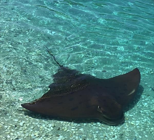 Sting Ray at Irukandji Shark and Ray Encounters