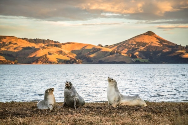 dunedin seals new zealand