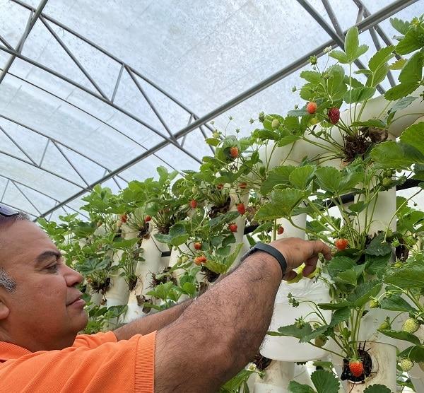 ricardoes fruit picking