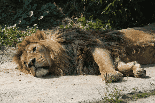asiatic lions test positive for COVID-19 in Hyderabad zoo