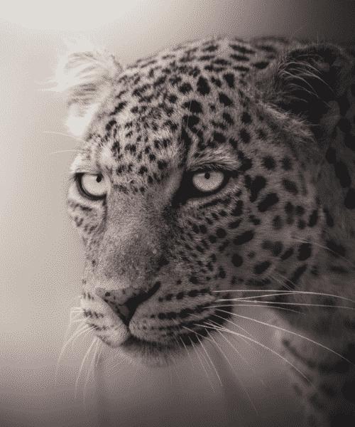 'The Enchantress' by Aditya Nair. wildlife photographer cheetah
