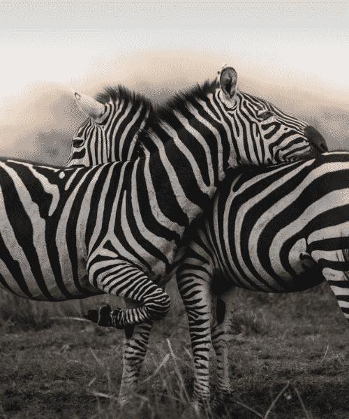 zebra photography adits nair