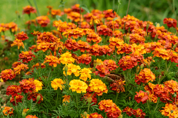 Calendula offinalis (Marigold). Source: Canva