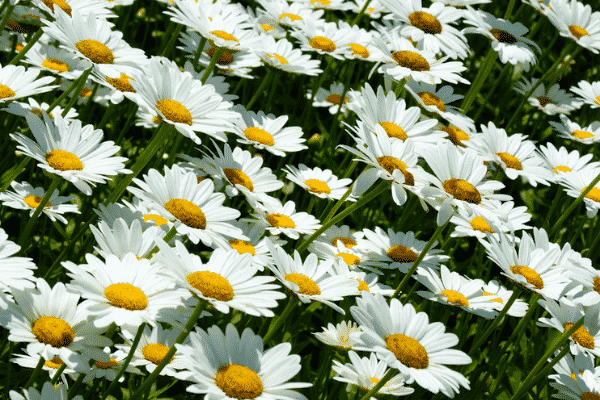 Daisy (Perennial varieties). Source: Brian Norcross