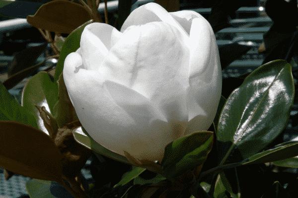"Magnolia ""Little Gem"". Source: Wikimedia Commons"