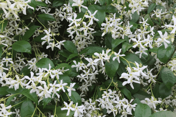 Trachelospermum jasminoides (Star Jasmine). Source: Flickr